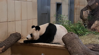 Giant Panda resting at the Zoo In Vienna