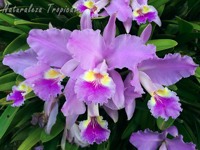 Flores de la orquídea Cattleya lueddemanniana