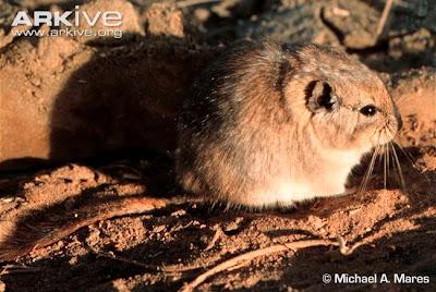 Plains Viscacha Rat