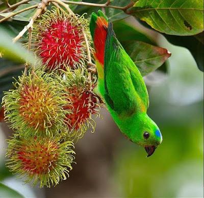 blue crown hanging parrot eating