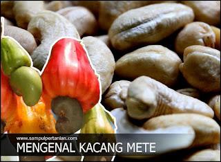 Mengenal Kacang Mete (Anacardium occidentale)