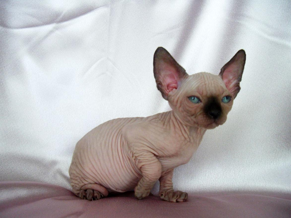 Sfinx Kat Sphynx Cat Wallpapers Animals Library