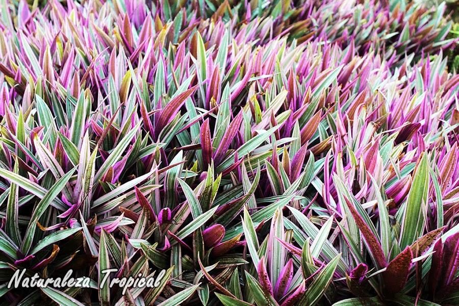 Cultivo ornamental de la Hierba del Cáncer o Maguey, Tradescantia discolor