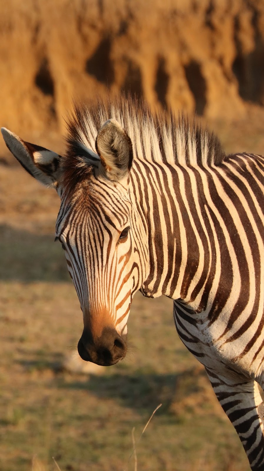 Portrait picture of a zebra.