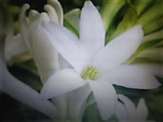 bunga sedap malam dalam pot