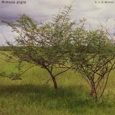 Carpinchera Mimosa pigra