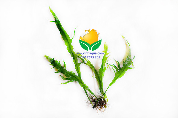 Nhận dạng cây thủy sinh dương xỉ lá nĩa - Microsorium sp. Fork leaf