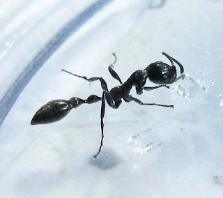 Worker of Tetraponera sp