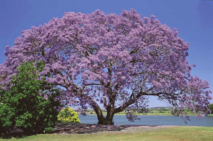 The rather impressive gualanday tree in full flower ...