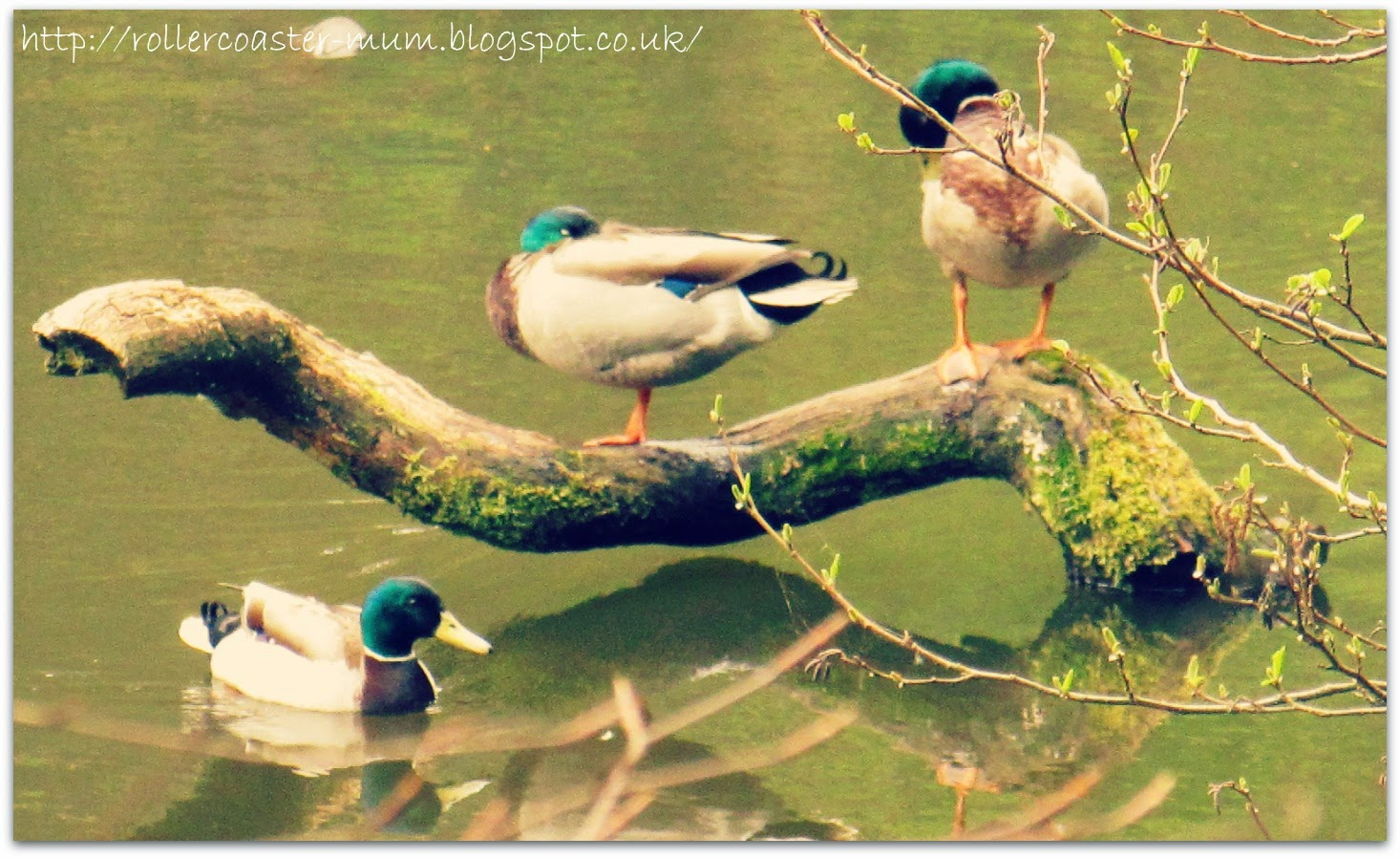 resting Mallard ducks at National Trust Waggoners Wells