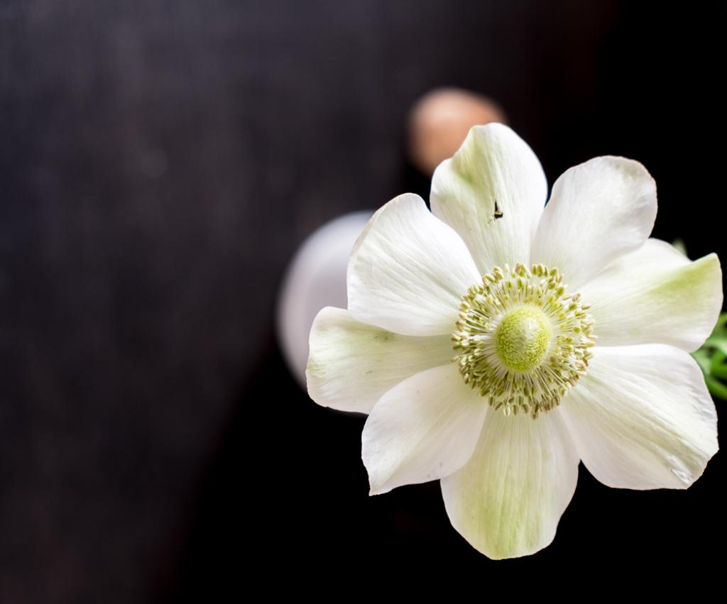 www.fim.works | Lifestyle-Blog | cremeweiße Anemone, weiße Anemone, Frühlingsblume