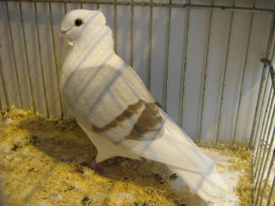Smerle des Flandres - owl pigeon