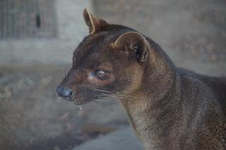 上野動物園のフォッサ