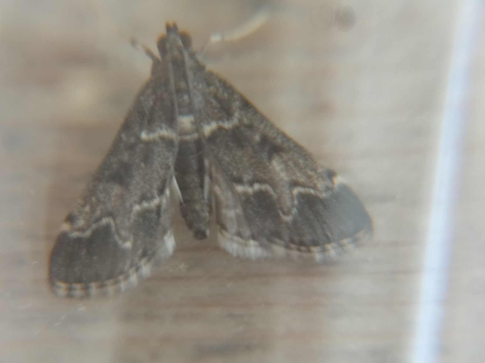 Unidentified Moth From My Kitchen Ceiling