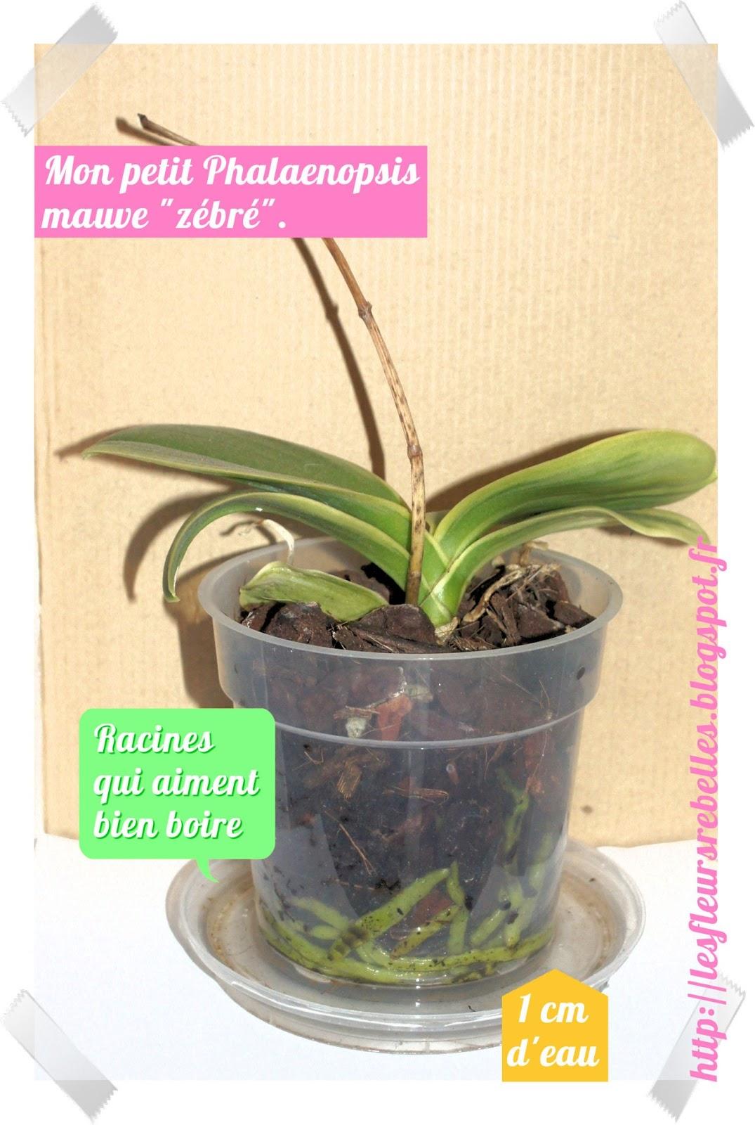 Les fleurs rebelles blog lifestyle diy comment arroser ses phalaenop - Comment bien arroser ses plantes ...