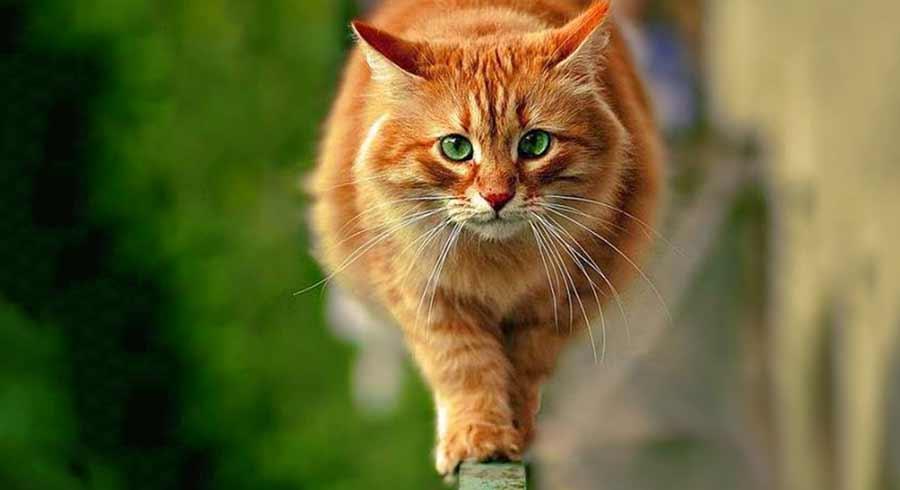 Conoce el significado espiritual de los gatos naranja