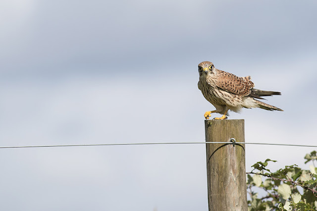 Kestrel looking at me