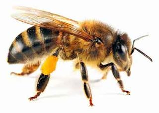 sahabat-yang-dijaga-lebah