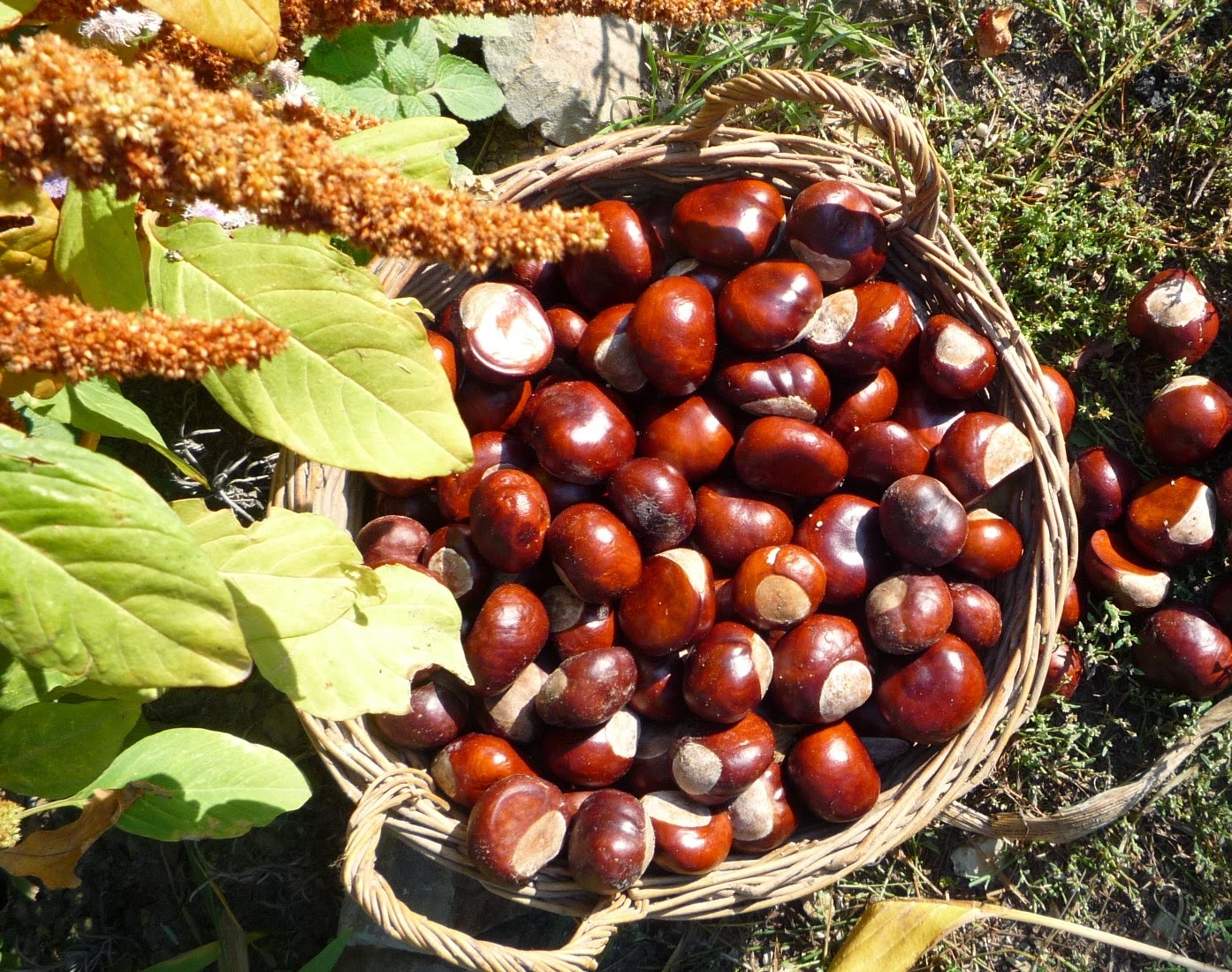 Conkers the fruit of the Horse Chestnut