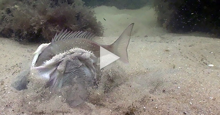 Huge Stargazer swallows big fish in one bite