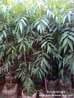 Jual Pohon Glodokan tiang murah | Tanaman Pelindung | Bibit Glodokan tiang
