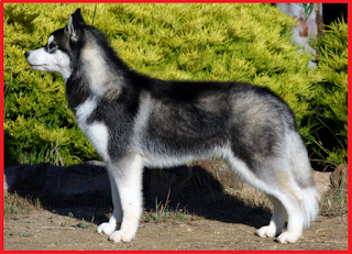 Perhatikan 3 hal ini sebelum anda memelihara anjing Siberian husky
