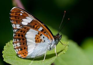 White Admiral.  Limenitis camilla orange white stripes