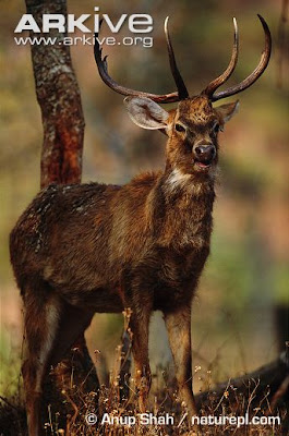 Eld´s deer