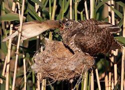 Reed Warbler feeding a Cuckoo Chick, foto de Dreamer