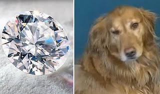 Anjing yang menelan berlian senilai $ 20.000