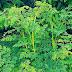 Moringa Oleifera Tea Recipe To Treat Diabetes Mellitus