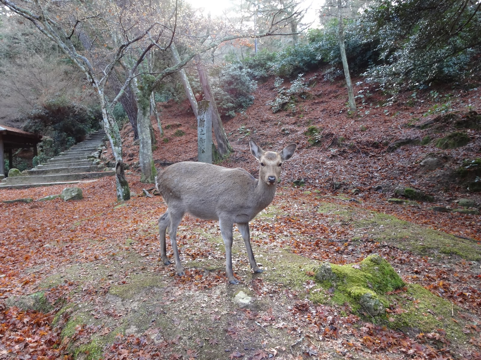 Deer among maple leaves on Miyajima Island