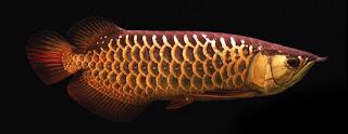 jenis ikan cross back golden arwana