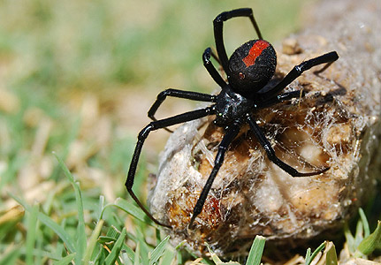 black widow spider wild life. Black Bedroom Furniture Sets. Home Design Ideas