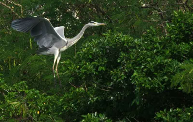 flight of Grey Heron