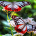 7 Wallpaper Kupu Kupu Keren | Butterflies Wallpaper HD
