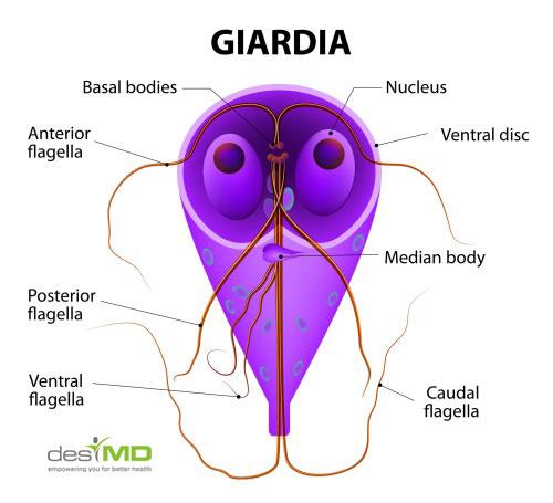 la giardia intestinalis