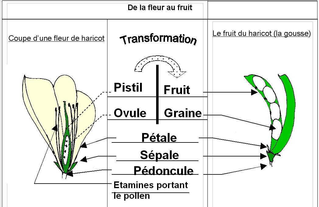 Cours 6eme Comment Se Forme Un Fruit