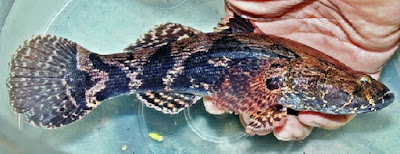 cara budidaya ikan,betutu di kolam terpal,betutu teori dan praktek,hias,gurame,gabus,lele,patin,nila,