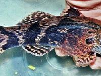 Cara Budidaya Ikan Betutu Sendiri