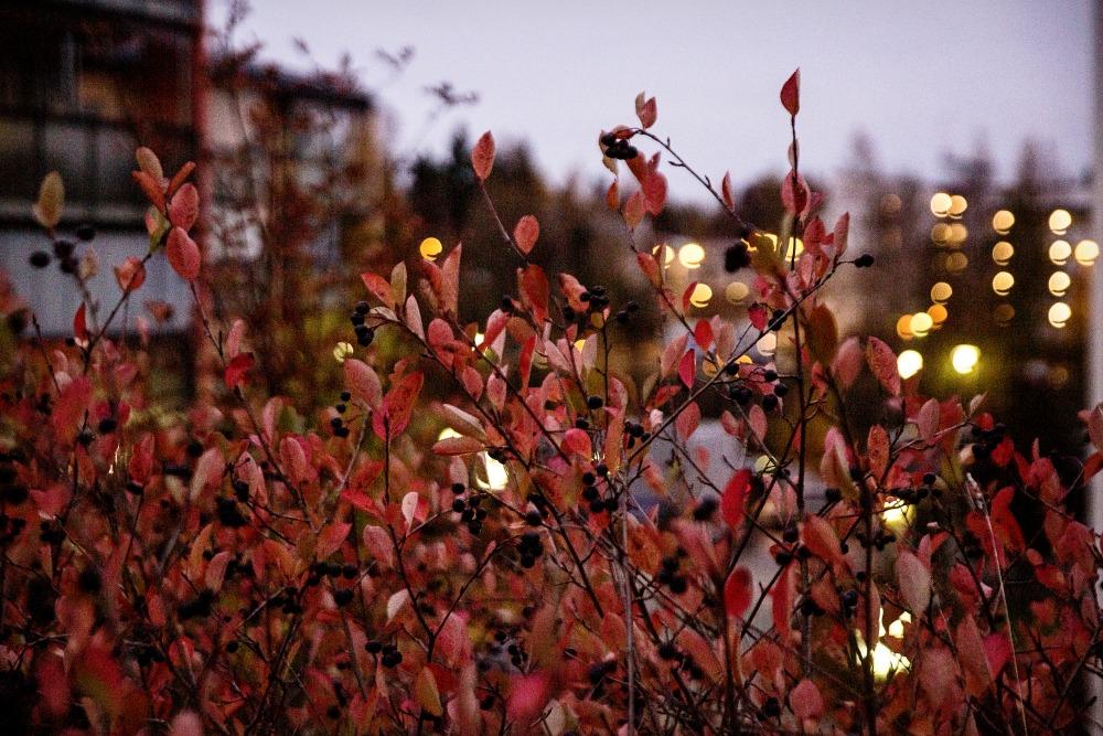 syysilta, fall, autumn, lehdet