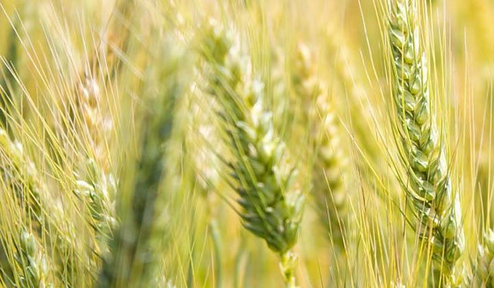 wheat-crop-india