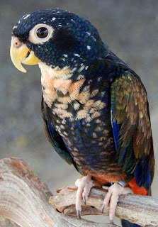 Lovebird Bagus