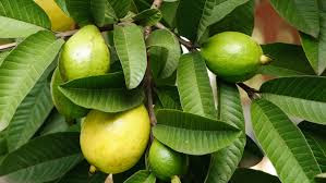 Guava leafs is very useful for being healthy