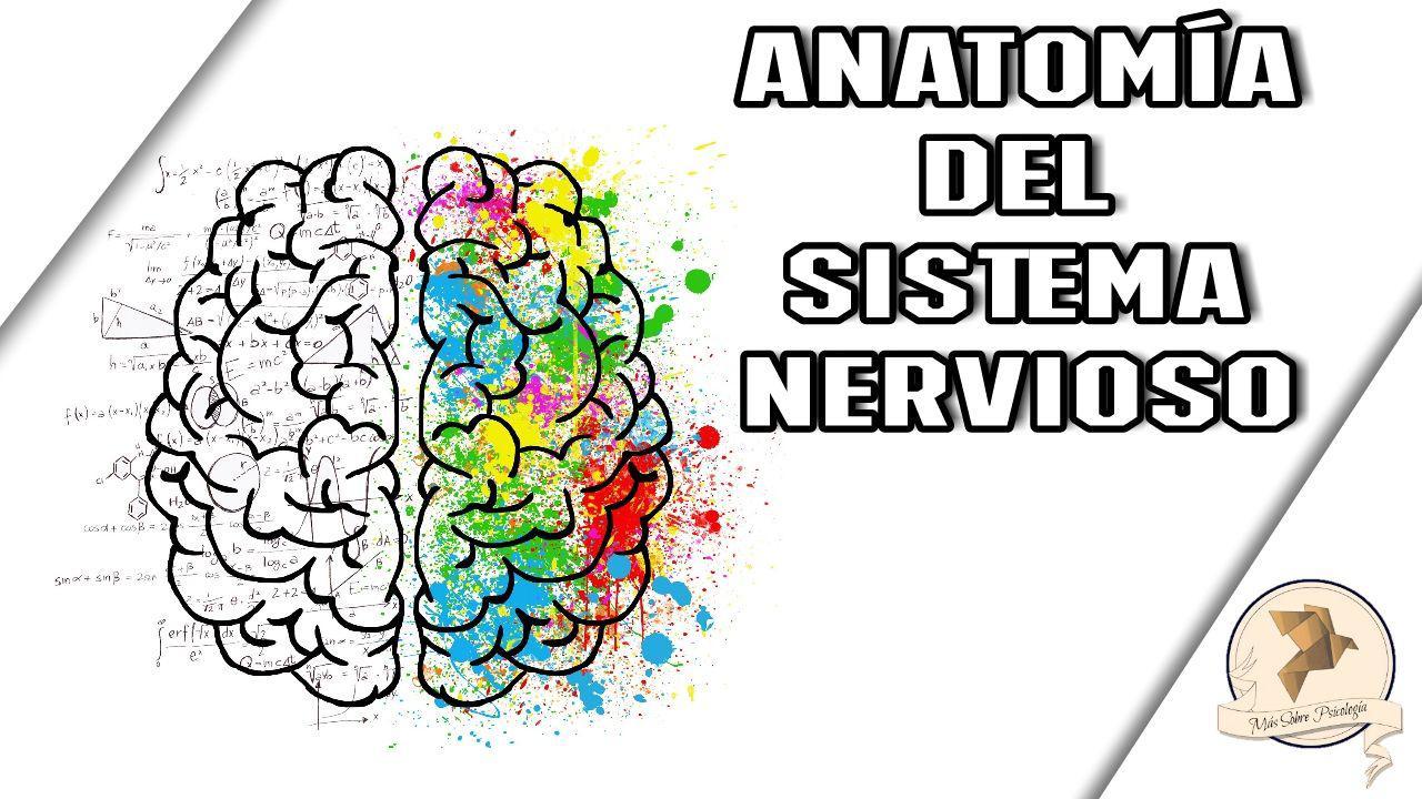 DIVISIONES ANATÓMICAS DEL SISTEMA NERVIOSO | MÁS SOBRE PSICOLOGÍA ...