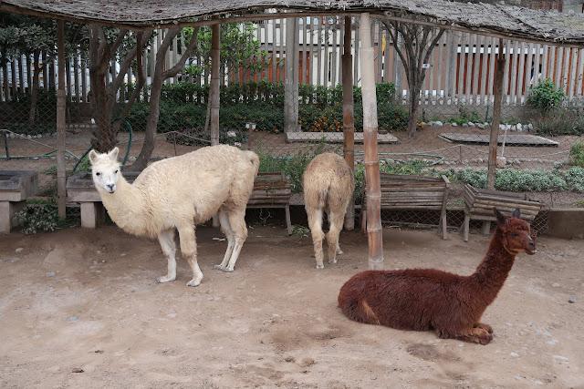 Llamas en Huaca Pucllana