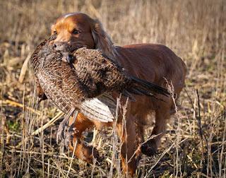 εκπαιδευση σκυλου για κυνηγι