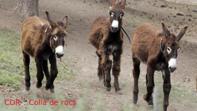 CDR, colla de rucs, rucio, asno, burro, ase, Esel, donkey, ass