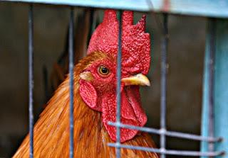 Cara Budidaya Ayam Kampung Bagi Pemula