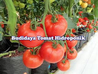 Tips Sederhana Menanam Tomat Hidroponik Dirumah